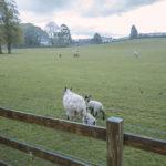 Lake District pecore